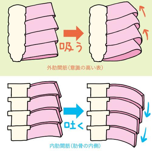 外肋間筋と内肋間筋